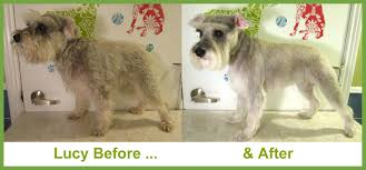 schnauzers hair cuts pictures of miniature schnauzers haircuts image collections