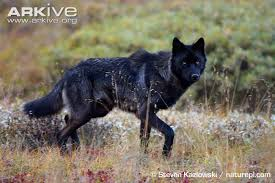 grey wolf photo canis lupus g57816 arkive