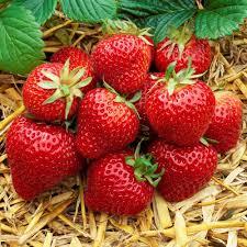 buy strawberry florence late season j parker dutch bulbs