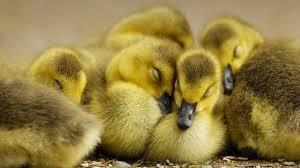 why ducks are better than dinosaurs astrobioloblog clip art