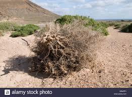 desert tumbleweed stock photos u0026 desert tumbleweed stock images