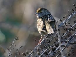 California birds images Backyard birds of sacramento california pacific nw birder jpg