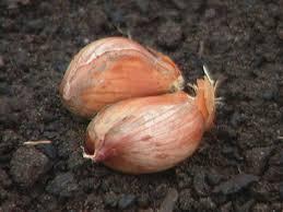 how to grow garlic and shallots how tos diy