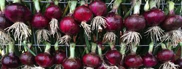 nurseries in atlanta homewood nursery dixondale farms mailorder onion plants leek transplants and