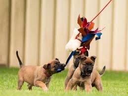 belgian shepherd south africa getting a puppy blog by k9 pro and steve courtney dog training