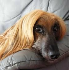 afghan hound speed afghan hound google search afghan hound pinterest afghan