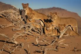rare desert lions of u0027five musketeers u0027 fame poisoned