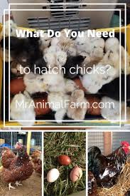 Backyard Chicken Blogs by 42 Best Mranimal Farm U0027s Chicken Blogs Images On Pinterest
