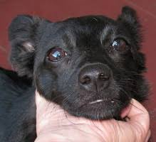 australian shepherd mixed with chihuahua available dogs new