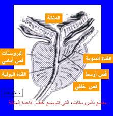 الارتكاس الجنسي العضو الذكري images?q=tbn:ANd9GcT