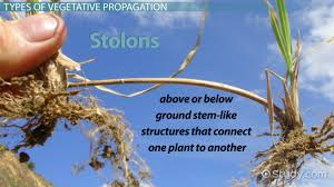 Vegetative Propagation By Roots - vegetative propagation in plants definition methods u0026 examples