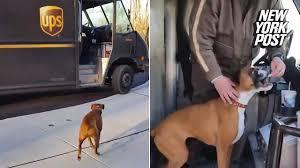 boxer dog kills man this boxer actually runs to the deliveryman out of joy youtube