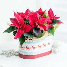 christmas poinsettia duo hat box flyingflowers co uk