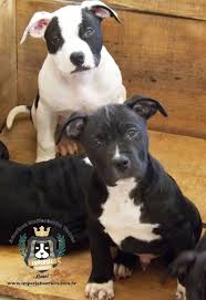 american pitbull terrier apbt 65 best amstaffies images on pinterest american staffordshire
