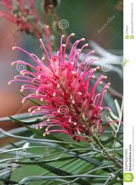 queensland native plants grevillea banksii royalty free stock photo image 31366535