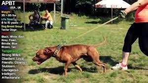 american pitbull terrier apbt top best video of apbt american pitbull terier video dailymotion