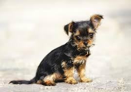 australian shepherd yorkie 13 pictures of chihuahua yorkie mix a k a chorkie and breed