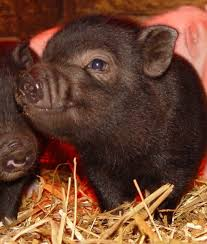 micro pigs big cost potential problems