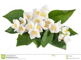 Jasmine Flowers Jasmine Flowers Royalty Free Stock Image Image 31385696