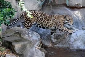 jaguars wcs org