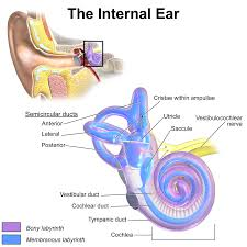 Anatomy And Physiology Ear Inner Ear Wikipedia