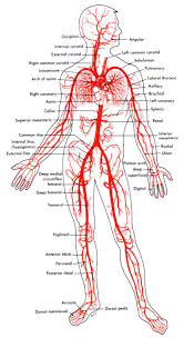 arteries and veins of the body anatomy pinterest the body anatomy