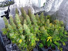 northern lights yield indoor 5 ways to increase yields with any strain grow weed easy