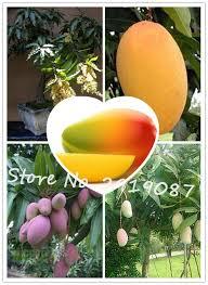 Mango Boom 2 stks zak mango zaden mango boom zaden bonsai boom zaad