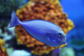 free images underwater blue fauna coral reef marine life