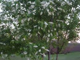 chokecherry trees