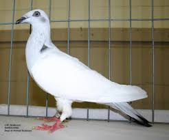 raising pigeons extension