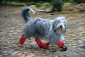 bearded collie brown dog bearded collie with boots on photo wp17358