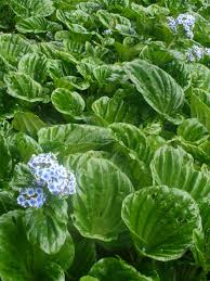 native new zealand plants the chatham island forget me not has won the national poll to find