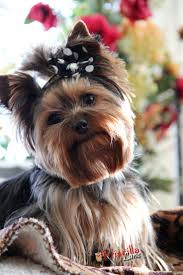 108 best yorkie haircuts images on pinterest yorkies animals