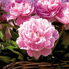 peonies flowers zyverden peonies bernhardt roots set of 3 833031 the
