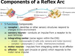 How Does A Reflex Arc Work In A Nervous System Chapter 13 The Peripheral Nervous System And Reflex Activity Ppt