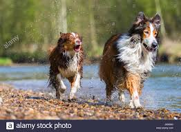 australian shepherd collie mix picture of a collie mix dog and an australian shepherd running in