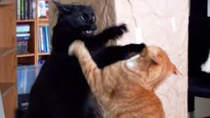 Cat Fight Meme - funniest cat fight youtube