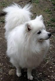 american eskimo dog odor american eskimo dog miniature in canada canadogs