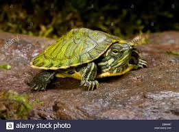 Texas Map Turtle Emydid Stock Photos U0026 Emydid Stock Images Alamy
