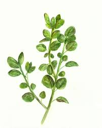 herb herbs clipart oregano pencil and in color herbs clipart oregano