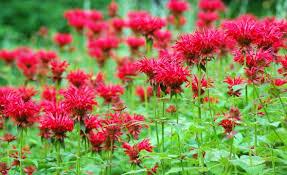 Fragrant Flowers Striking Fragrant Flowers Of Monarda Didyam Bee Balm