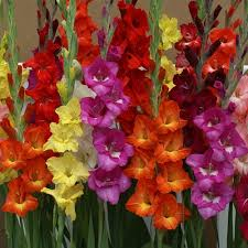 gladiolus flowers euroblooms gladiolus hot mix 24 flower bulbs walmart
