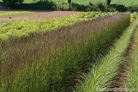 grasses for informal garden hedges knoll gardens ornamental