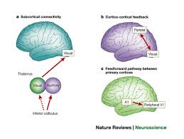 Cortical Blindness May Result From The Destruction Of Cross Modal Plasticity Where And How Nature Reviews Neuroscience