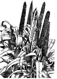 ornamental millet purple majesty f1 all america selections