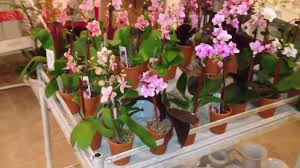 orchids for sale 2 inch mini orchids for sale from thegardengates
