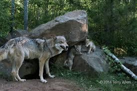 wolves allenfotowild