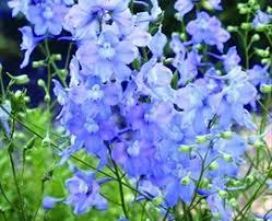 delphinium flowers light blue delphinium flowers and fillers flowers