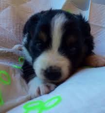 australian shepherd puppies 4 weeks 7 weeks black tri male found home miniature australian shepherd